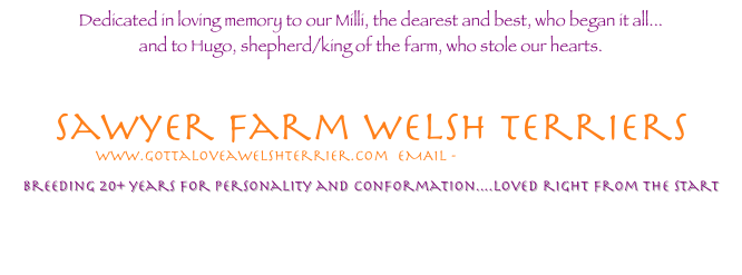 Dedicated in loving memory to our Milli, the dearest and best, who began it all...  and to Hugo, shepherd/king of the farm, who stole our hearts.           Sawyer farm welsh Terriers  EMAIL - sawyerfarm@aol.com  loving Welsh terriers 20+ years   for personality, Good Health, and conformation.... A small hobby farm